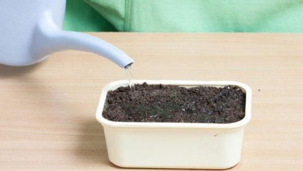 Как поливать рассаду свеклы