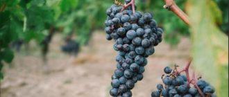 Обработка винограда весной от болезней и вредителей: для новичков