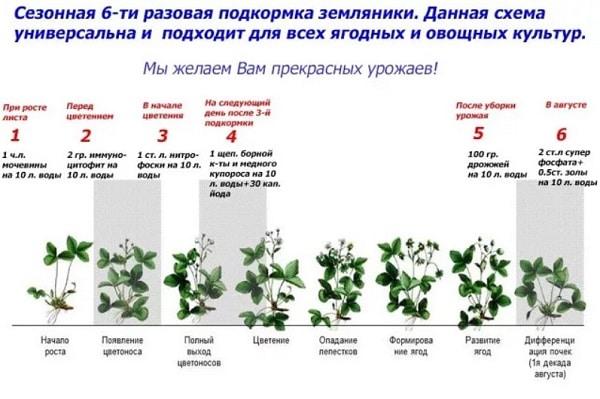 Подкормка клубники весной 6 разовая