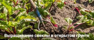 Выращивание свеклы в открытом грунте: пошаговая агротехника