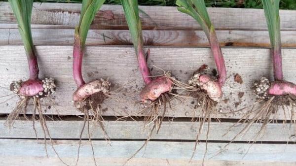 Когда выкапывать луковицы гладиолусов после цветения на хранение и как хранить